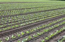 DripNet-drypslange i salatmark i Midtjylland med fordelerslange, ventiler og styring
